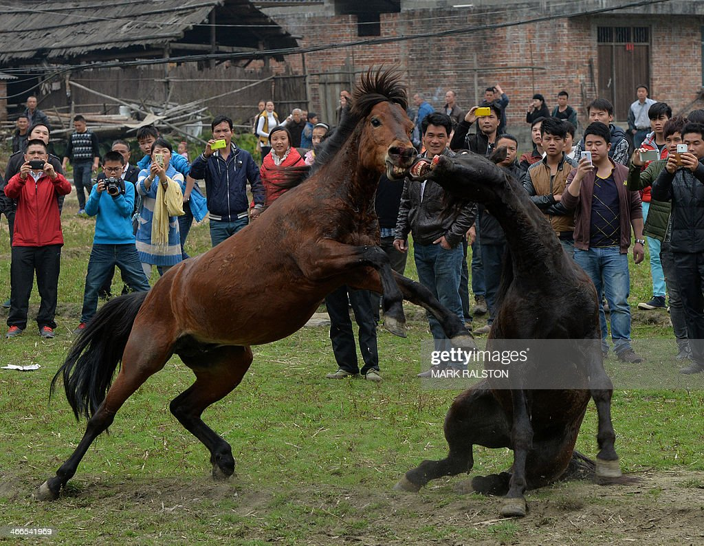 two stallions fight during a traditional chinese new year horse fighting competition for the year of the horse at the miao minority village of tiantou in - Chinese New Year 1969