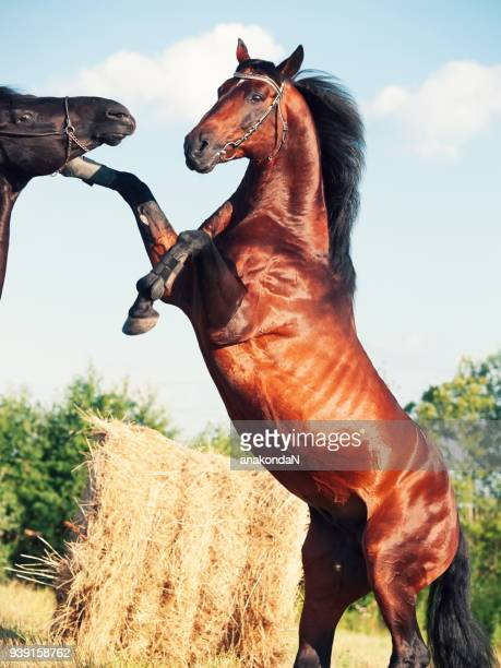 two stallions is playing and rearing - restraint muzzle stock photos and pictures