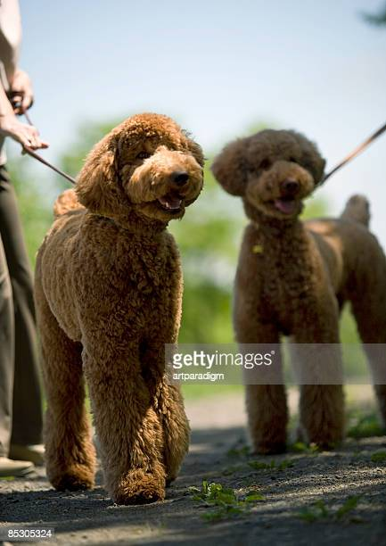 two standard poodles - standard poodle stock photos and pictures
