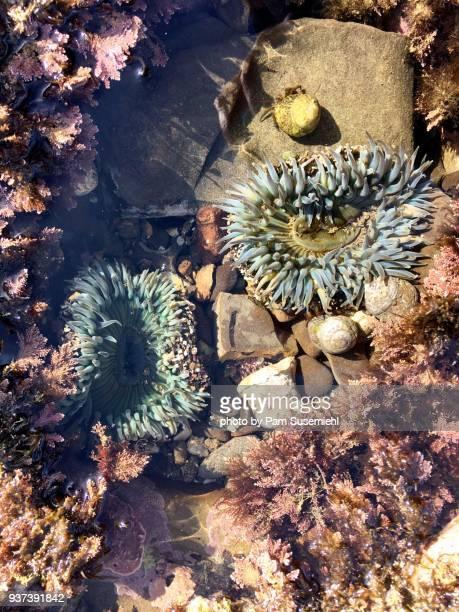two starburst anemones, san pedro, ca - tidvattensbassäng bildbanksfoton och bilder