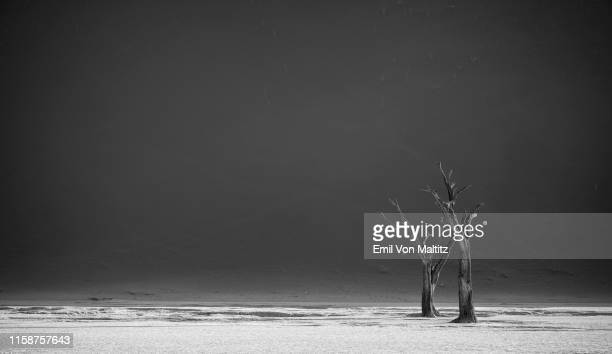 two stark and bare camel thorn trees on the flat salt pan of dead vlei with a mountainous sand dune behind them. black and white image. namibia - dead vlei namibia stock pictures, royalty-free photos & images