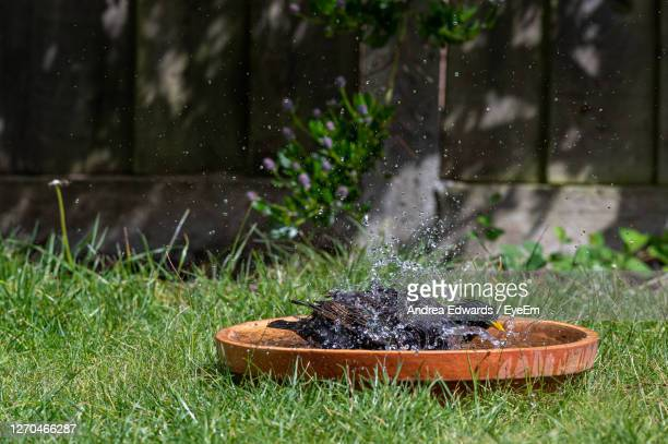 two starlings having a splash in a bird bath - pond stock pictures, royalty-free photos & images
