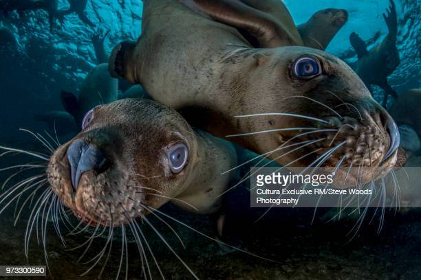 two steller sea lions (eumetopias jubatus), close-up, underwater view, hornby island, vancouver island, british columbia, canada - moustaches animales photos et images de collection