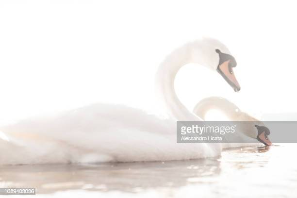 two still swans