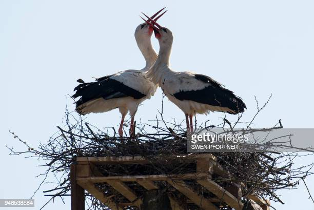 Two storks bill in their nest on a stillage in Poehlde, northern Germany, on April 19, 2018. / Germany OUT