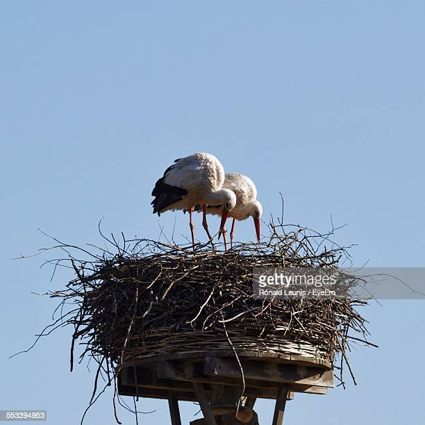 Two Storks In Nest