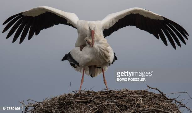 Two storks mate on their nest in Biebesheim am Rhein, western Germany, on March 2, 2017. / AFP PHOTO / dpa / Boris Roessler / Germany OUT