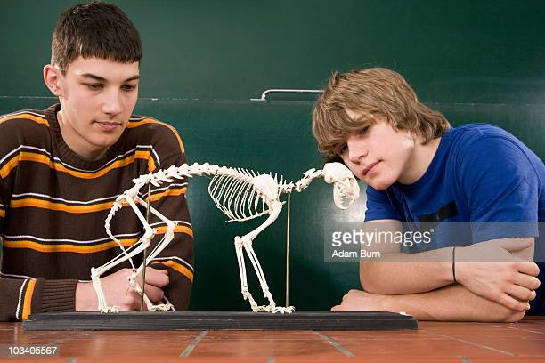two students looking at a cat skeleton in biology class - cat skeleton stock photos and pictures
