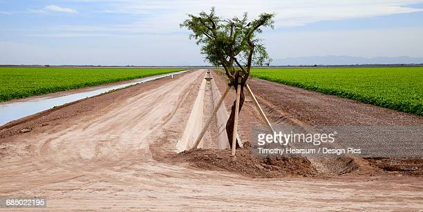 two sugar beet fields are divided by irrigation ditches and a propped up tree in californias imperial valley - timothy hearsum stock pictures, royalty-free photos & images