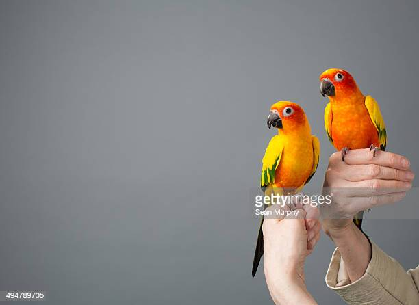 two sun parakeets on perched on woman's hands - パラキート ストックフォトと画像