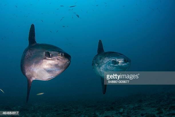 Two sunfish (Mola Mola)