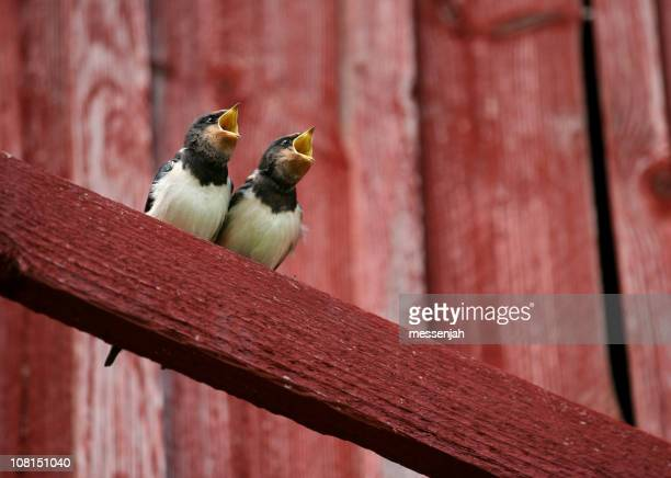 Two Swallows with Beaks Open