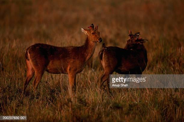 two swamp deers (cervus duvauceli duvauceli) standing, kazaringa n.p, india - kaziranga national park stock pictures, royalty-free photos & images