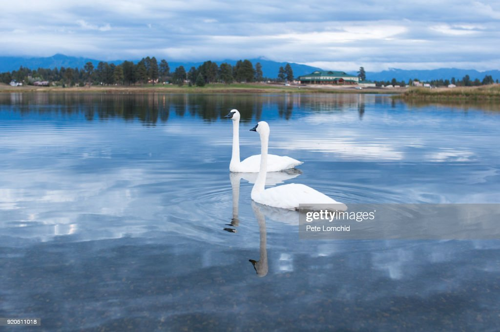 two swan in the lake : Stock Photo