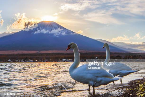 two swans and fuji diamond, sunset on the top of mount fuji, yamanaka lake, japan - ダイヤモンド富士 ストックフォトと画像