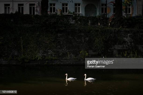 Two swans are pictured at the canal Landwehrkanal on August 09 2018 in Berlin Germany