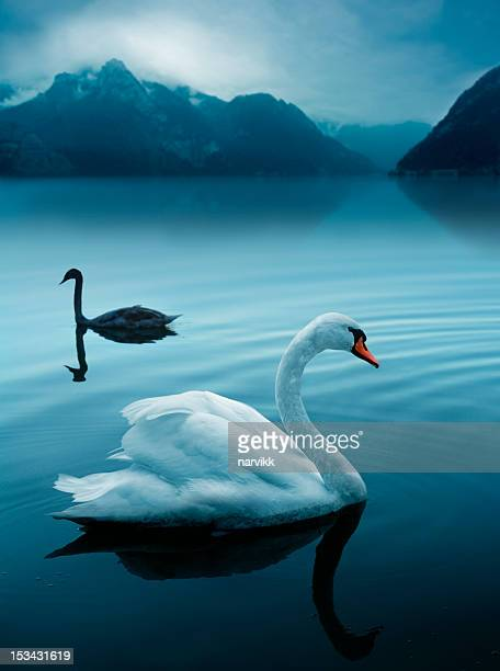 two swans at the mysterious lake - swan stock pictures, royalty-free photos & images