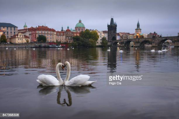 two swans in shape of heart - vltava river stock photos and pictures