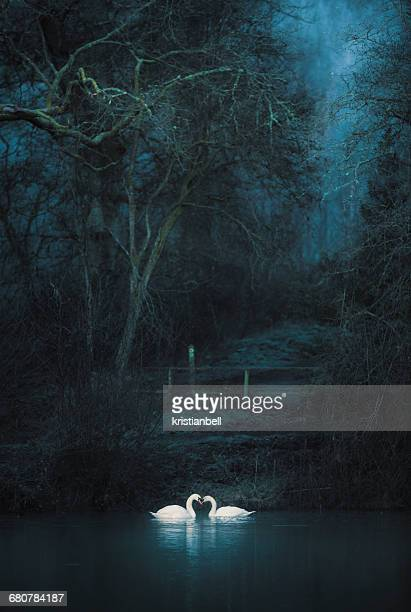 Two swans on a lake, Forest of Dean, Gloucestershire, England, UK