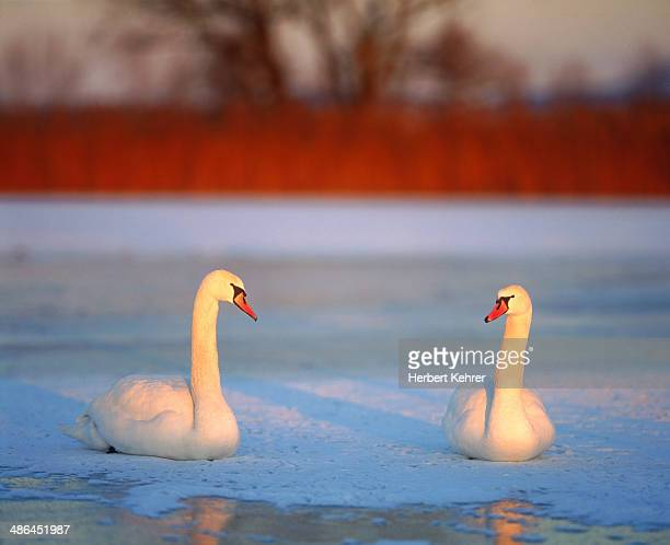two swans on a lake - two animals stock pictures, royalty-free photos & images