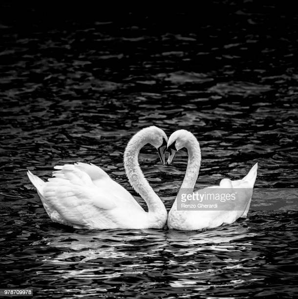 two swans together in black and white - renzo gherardi stock photos and pictures