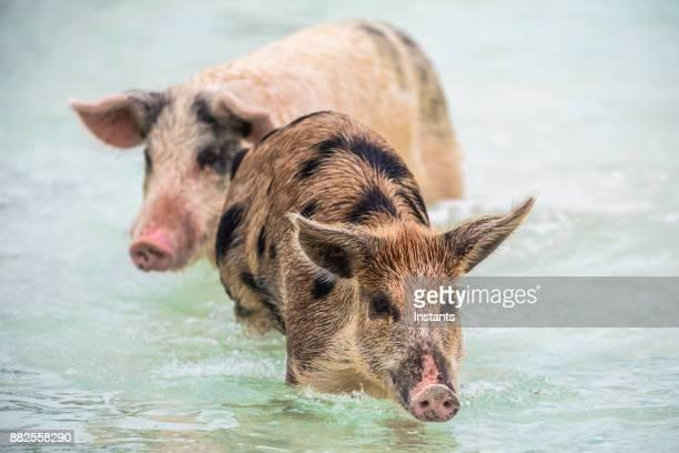 バハマの無人島の豚に exuma のスイミング野生豚を 2 つ - 雌豚 ストックフォトと画像