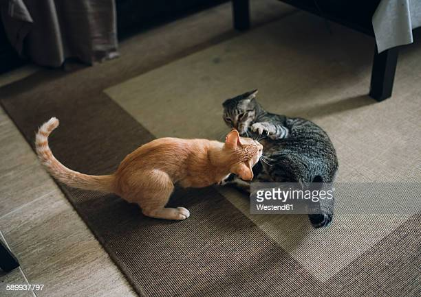 Two tabby cats play fighting in appartment