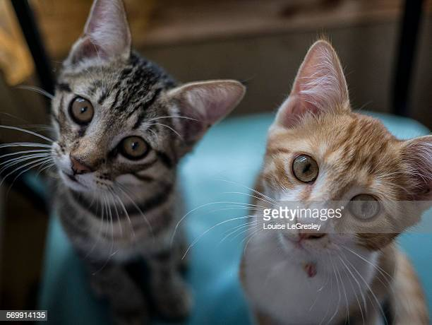 two tabby kittens - head cocked stock pictures, royalty-free photos & images