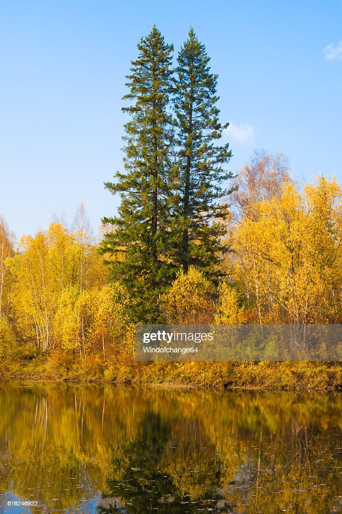 Two tall fir trees in autumn forest : Stock Photo