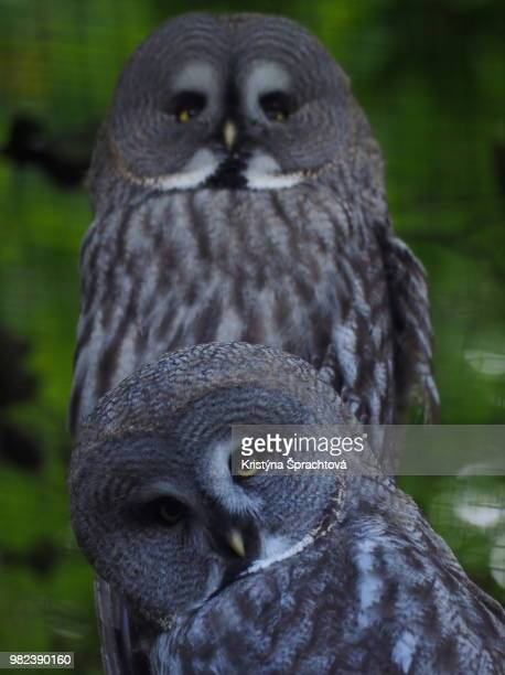 two tawny owls - czech hunters stock photos and pictures