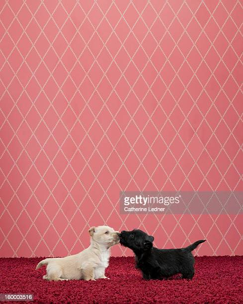 Two Terrier Puppies Kissing on Fancy Set