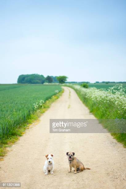 Two terriers out for a walk together. Left - Jack Russell terrier, right - Border Terrier.