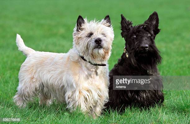 Two terriers white Cairn Terrier and black Scottish Terrier posing together on lawn in garden