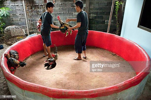 Two Thai men overseeing training fights of fighting cooks in Bangkok, Thailand. Cockfights are held in a round cockpit arena, surrounded by a small...