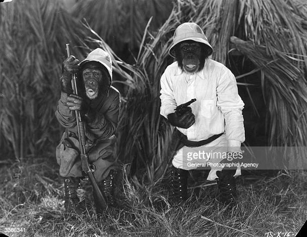 Two 'Tiffany Talking Chimps' dressed as big game hunters in the film 'Africa Squawks' directed by Connie Rasinski