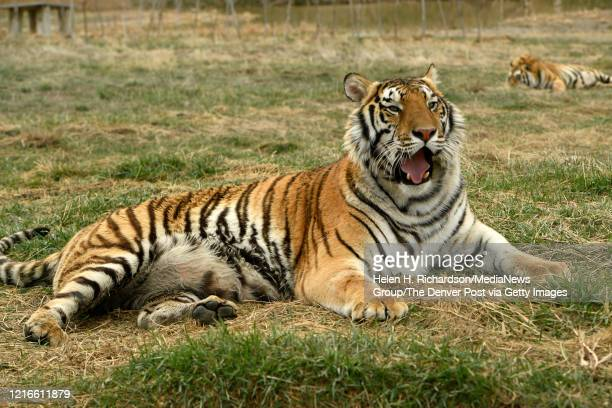 Two tiger brothers relax in their open enclosures enjoying a once unimagined life of freedom at the Wild Animal Sanctuary on April 1 2020 in...