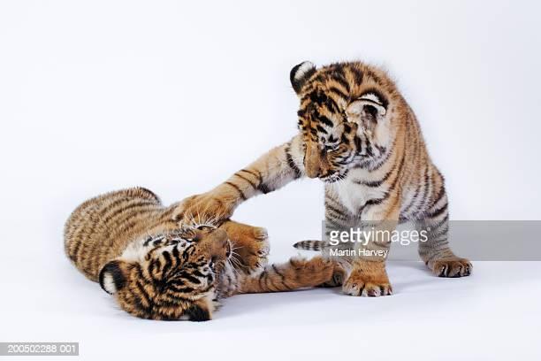 Two tiger cubs (Panthera tigris) playing, against white background