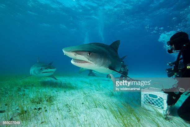 two tigers are better than one - tiger shark stock pictures, royalty-free photos & images