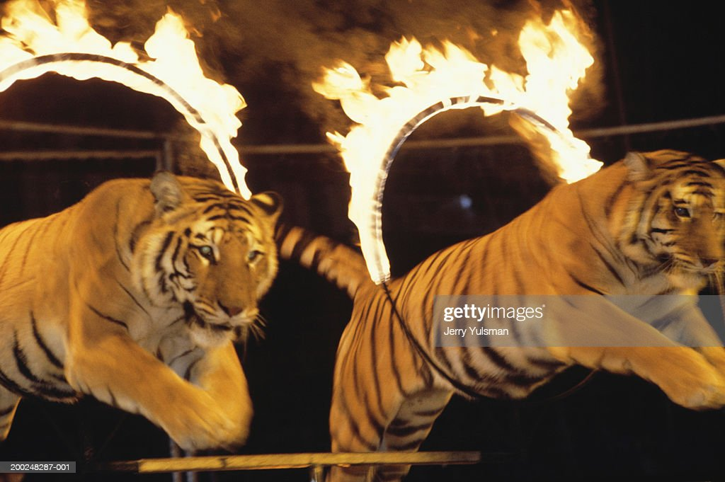 Two tigers leaping through burning rings of fire at circus : Stock Photo