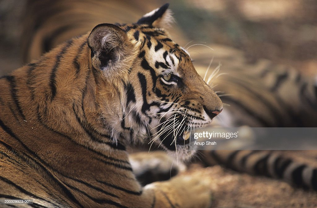 Two tigers (Panthera tigris) lying down, close-up of one showing teeth, Rajasthan, India : Stock Photo