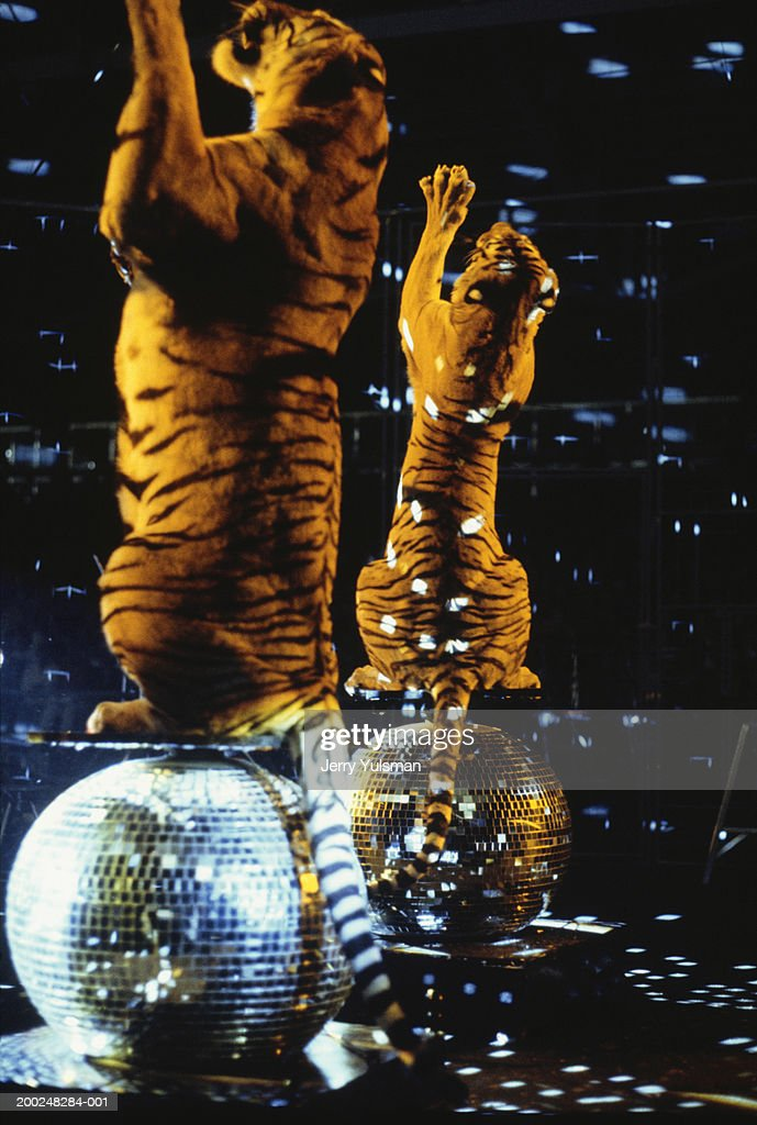 Two tigers standing on hind legs on reflection balls : Stock Photo