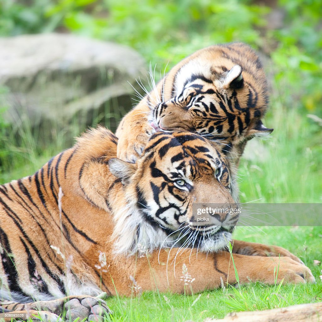 two tigers together, cuddling and playing : Stock Photo