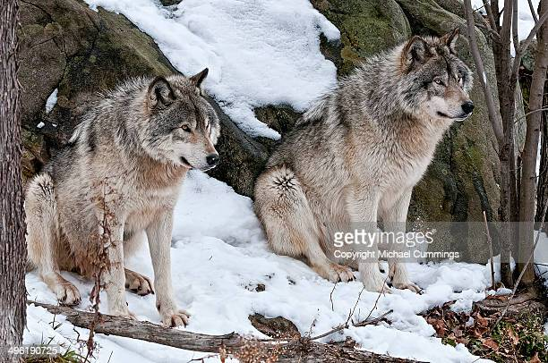 two timber wolves - michael wolf stock photos and pictures