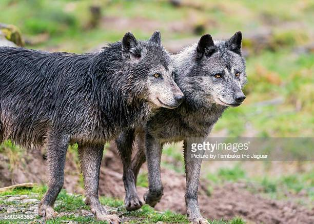 Timberwolves Animal Stock Pictures Royalty Free Photos Images