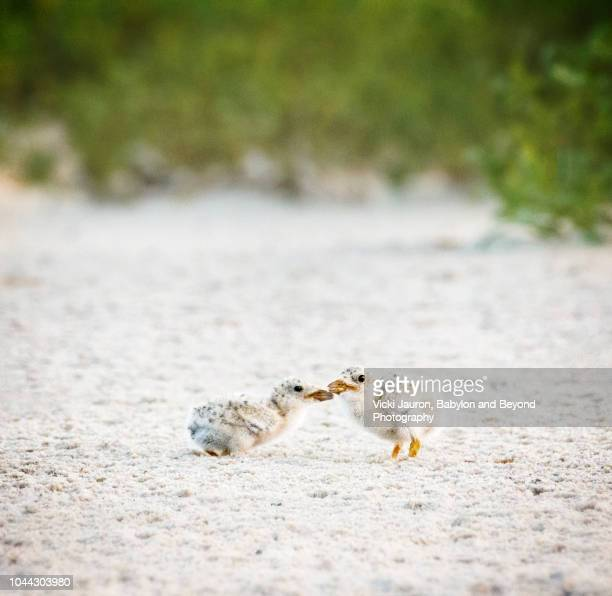 two tiny black skimmer chicks on the beach at nickerson, long island - zeevogel stockfoto's en -beelden