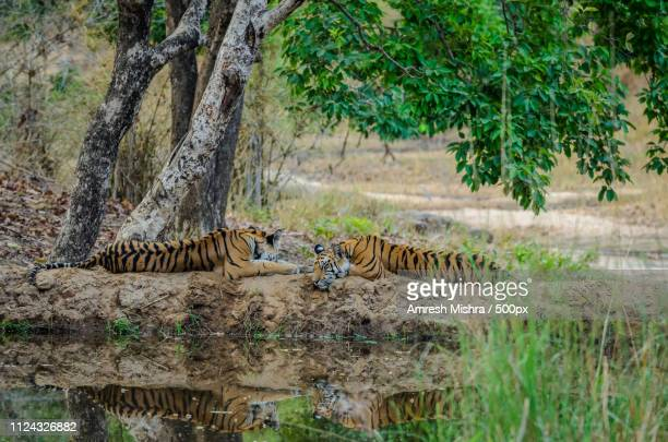 two to tango.. - bandhavgarh national park stock pictures, royalty-free photos & images
