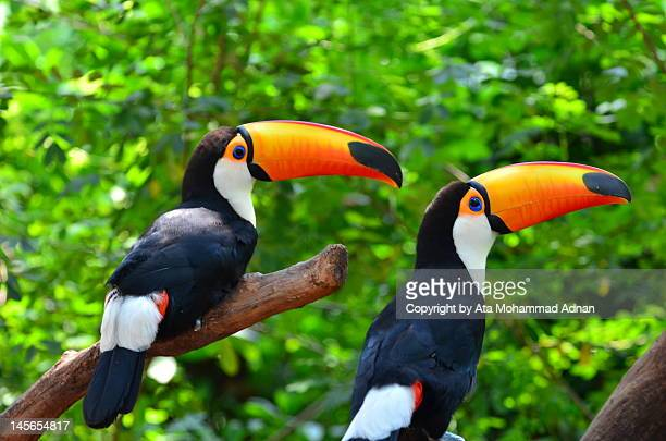 two toco toucans - toucan stock photos and pictures