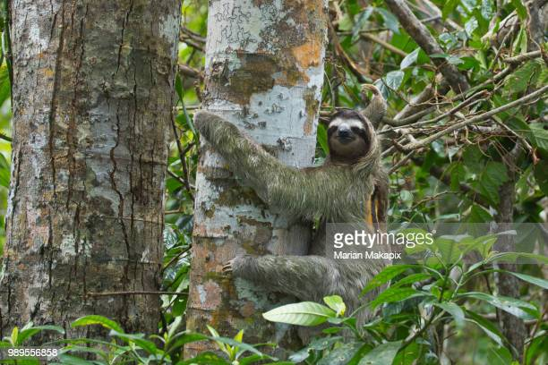 two toed sloth - three toed sloth stock pictures, royalty-free photos & images