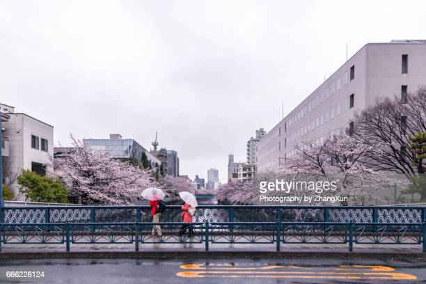 Two travelers are watching cherry blossoms on the bridge at rainy day, Koto ward, Tokyo, Japan, Spring
