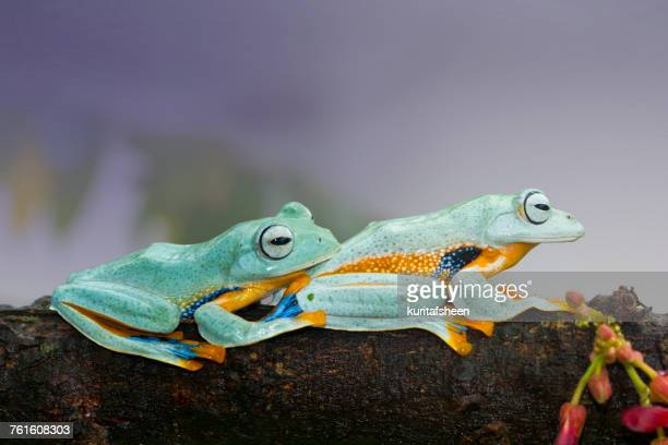 Two tree frogs on a branch, Indonesia